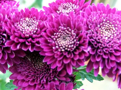 chinese chrysanthemum